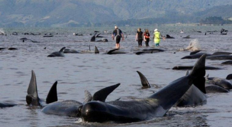 Otras 200 Ballenas Encallaron En Nueva Zelanda