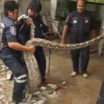 Encuentra a pitón gigante bajo su casa y descubre la increíble cena del reptil