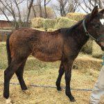 La Municipalidad garantizó el «Derecho Animal» a un potrillo neuquino