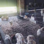 Detuvieron al propietario de un criadero ilegal de perros que cortó las cuerdas vocales a 34 animales